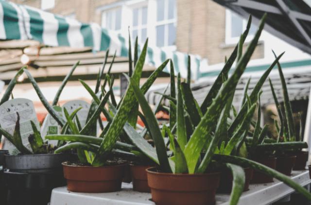 Medicinal Aloe Vera-sc-a trendy succulent plant thanks to its various medicinal virtues