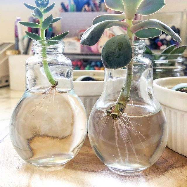 Help! My succulent is dying!-Water Damage and Mineral Accumulation-SC