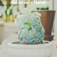 Why all of my succulents almost died---and what I did to save them.