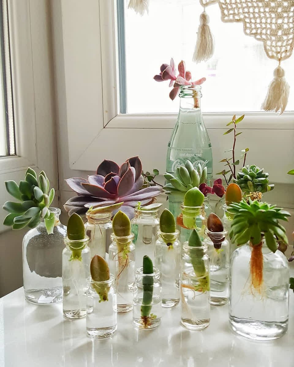 Water Propagating Succulent Cuttings
