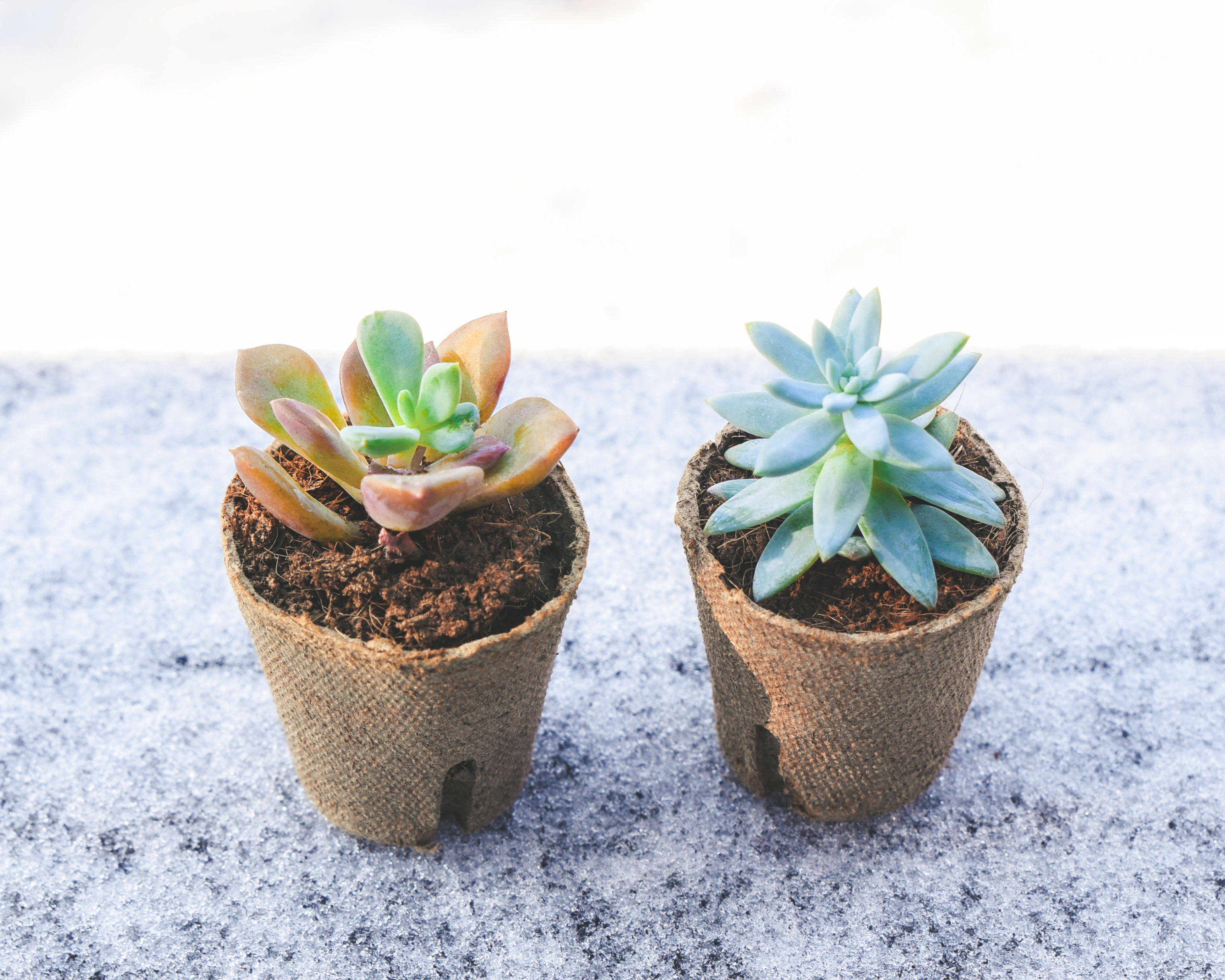 How to Heal Frostbitten Succulents