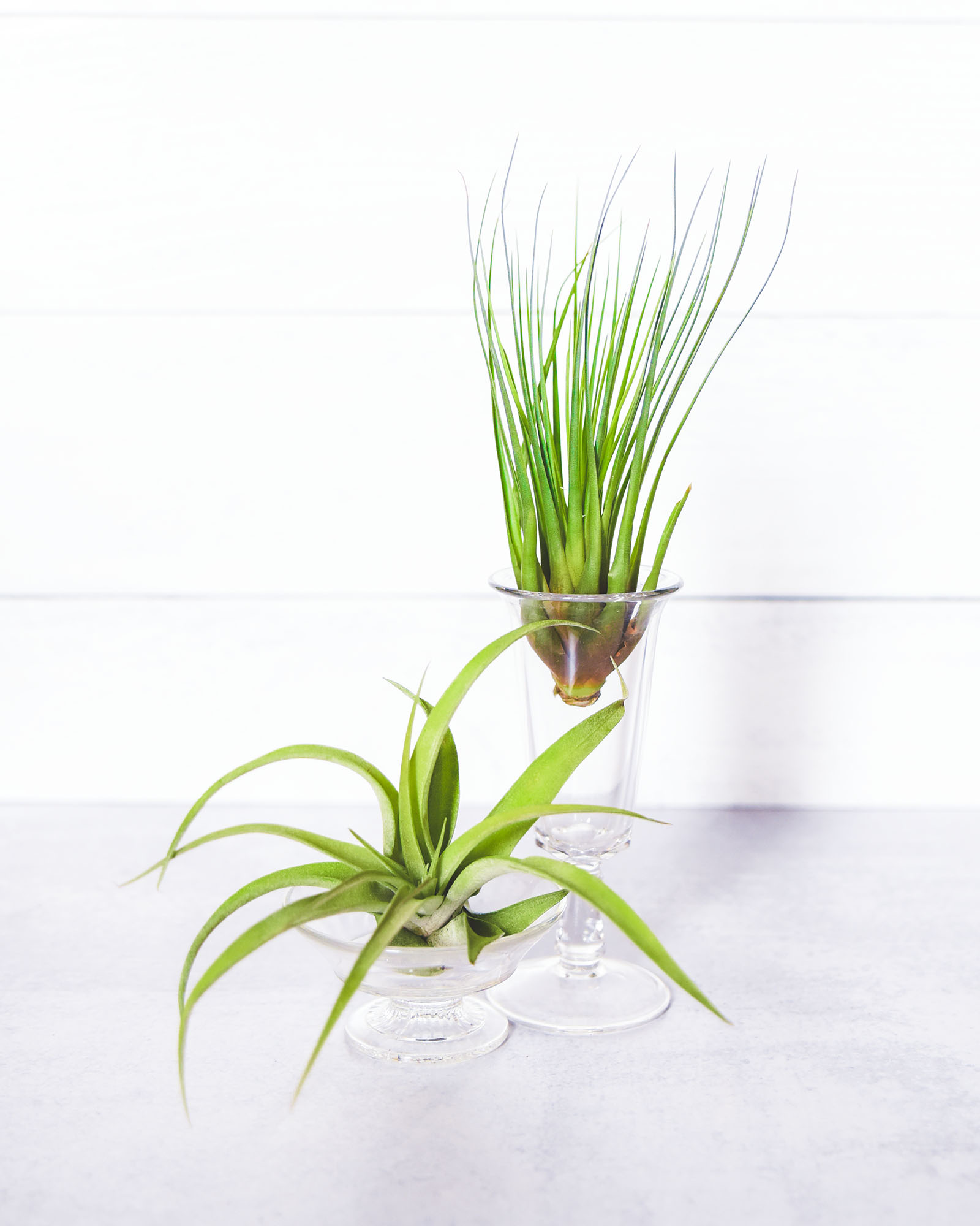 Air Plant Care Instructions
