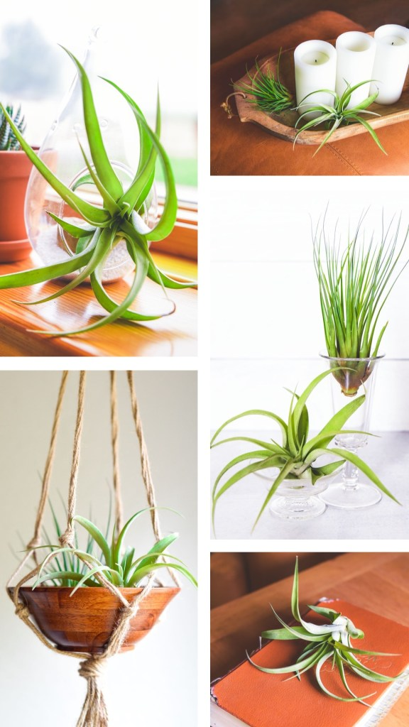 Collage of air plants