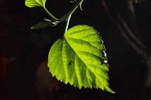Backlit Hibiscus leaf