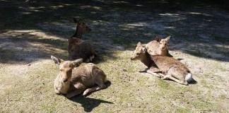 Cervos de Nara