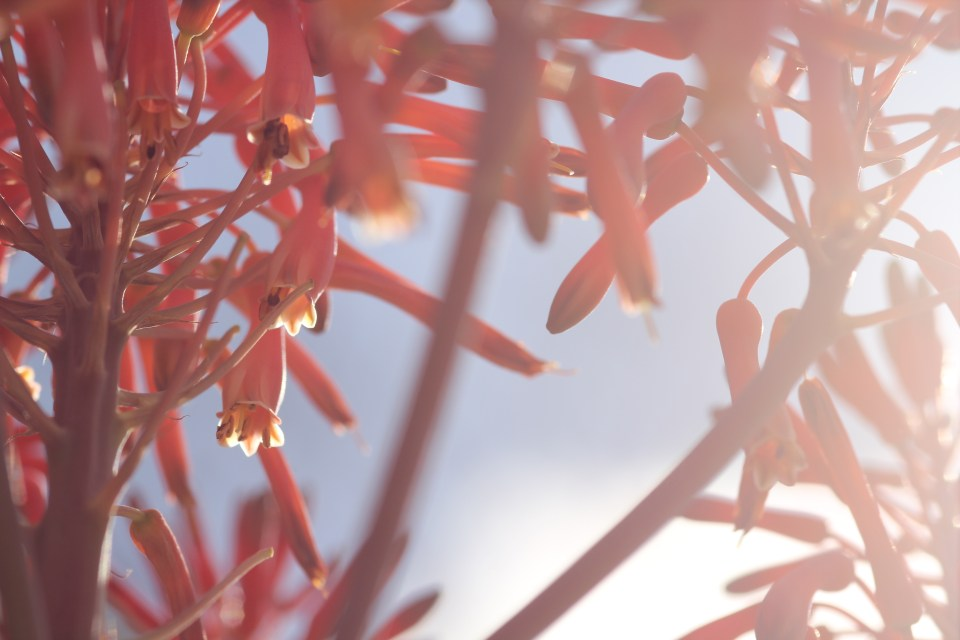 Aloe Maculata in flower
