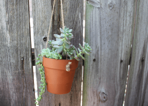 Hanging pot with sedeveria starbursts
