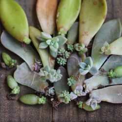Sucs for You - Succulent Leaves Propagation Kit