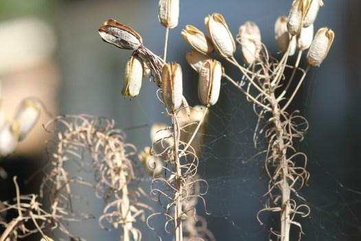 Aloe maculata seed pods