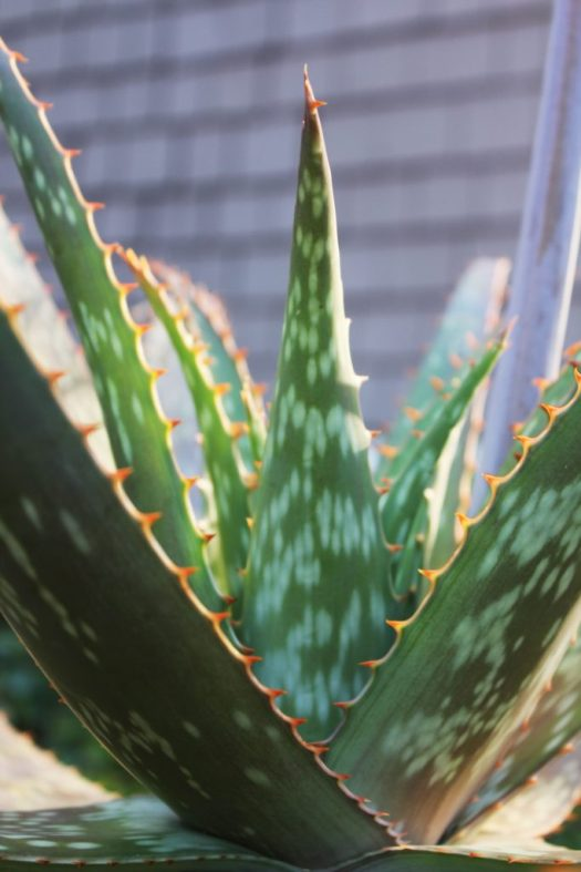 Aloe maculata leaves