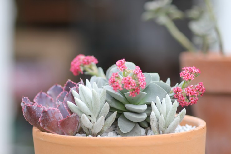 Crassula Morgan's Pink