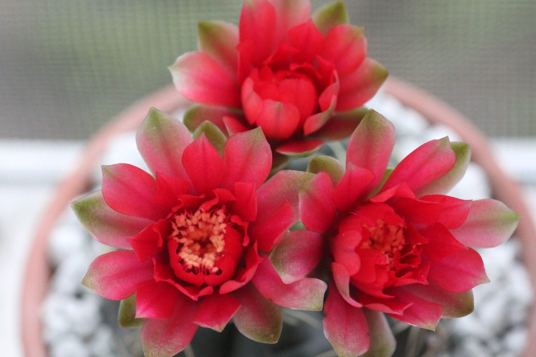 Gymnocalycium baldianum Chin cactus