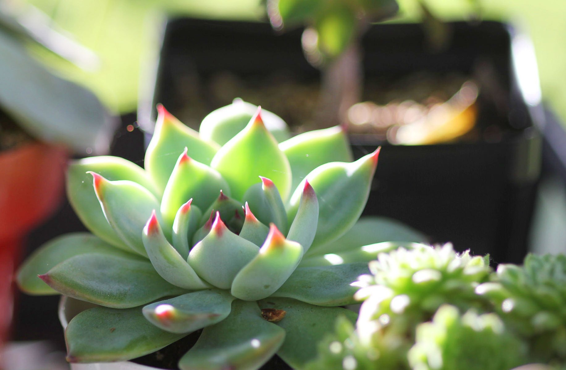 Photo: Echeveria 'Tippy' displaying its lovely red leaf-tips
