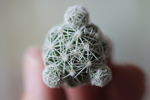 Photo: 3 offsets on a Mammillaria Gracilis Fragilis 'Thimble Cactus' macro