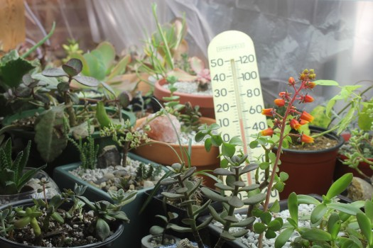 Photo: Outdoor succulents under grow lights during winter