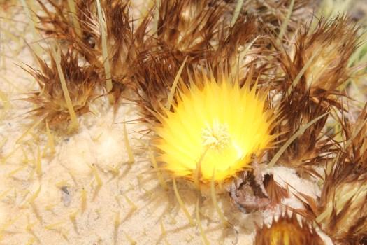 Echinocactus grusonii flowers