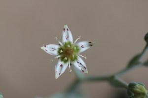 Graptopetalum paraguayense flower