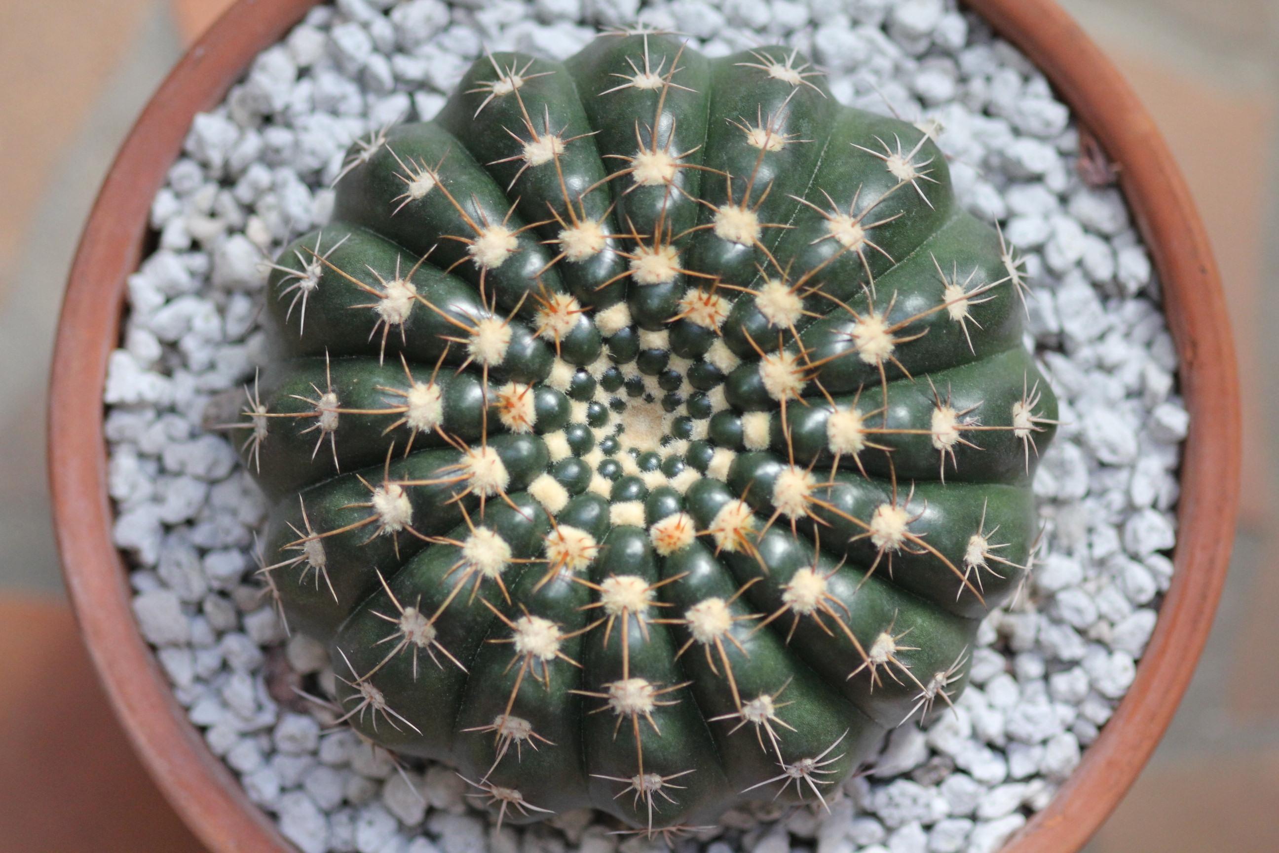Parodia werneri (formerly Notocactus uebelmannianus)