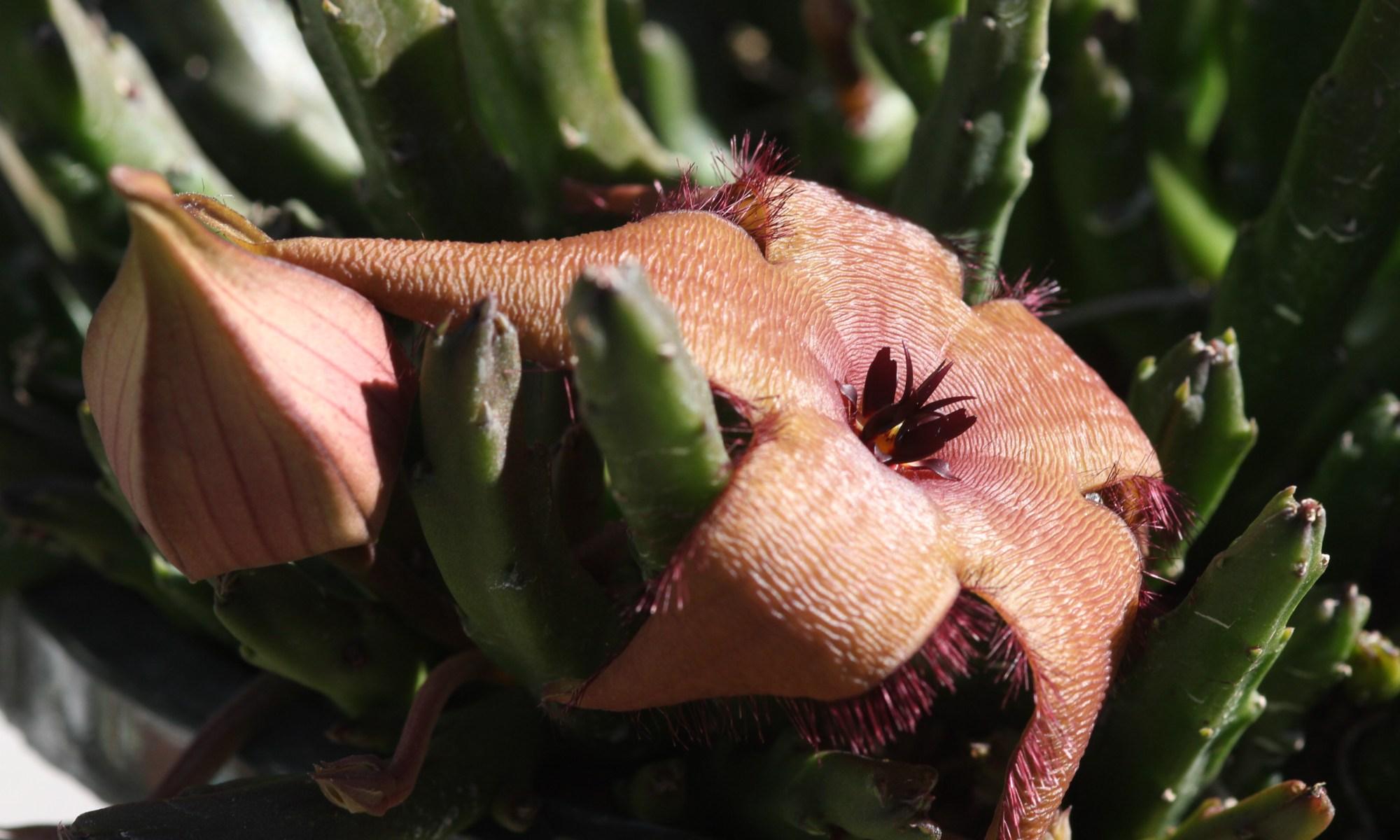 Stapelia grandiflora
