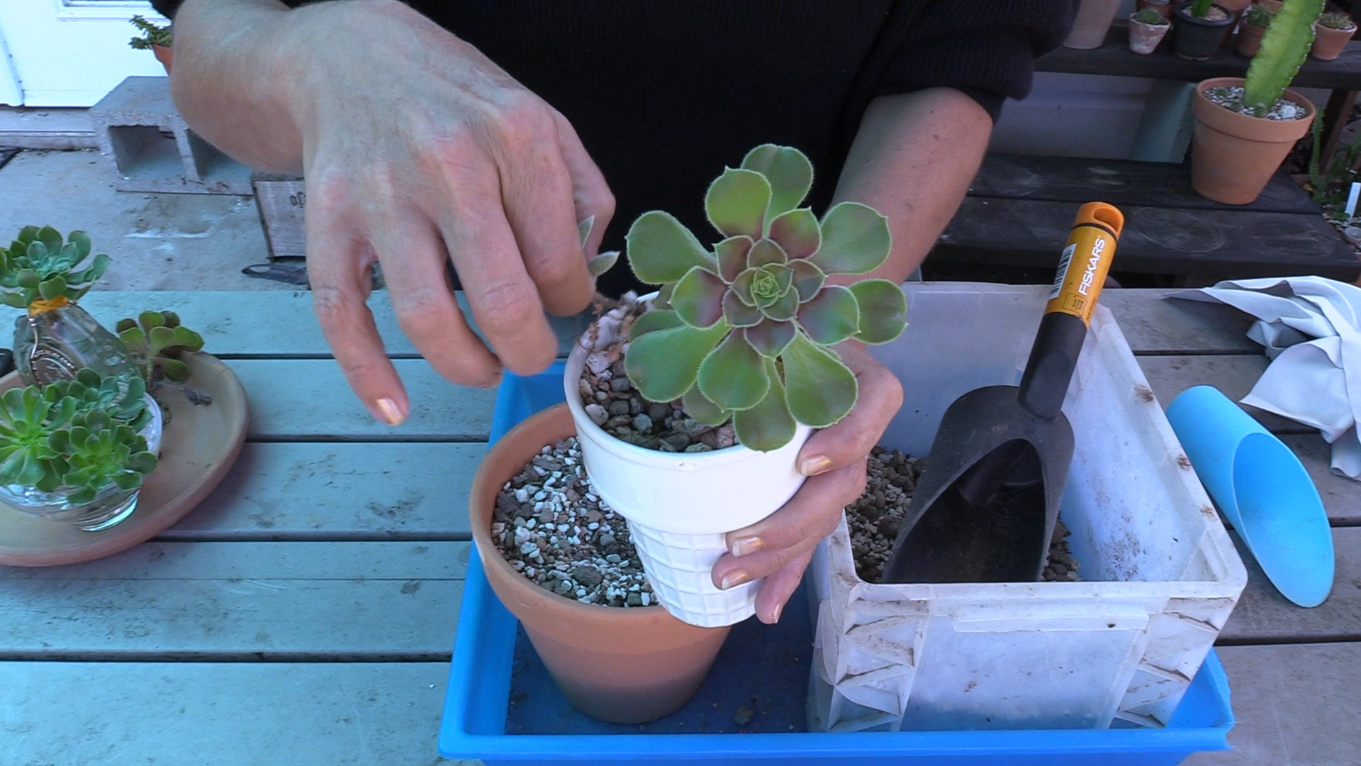How to keep summer dormant Aeoniums alive (plus water propagation tips)
