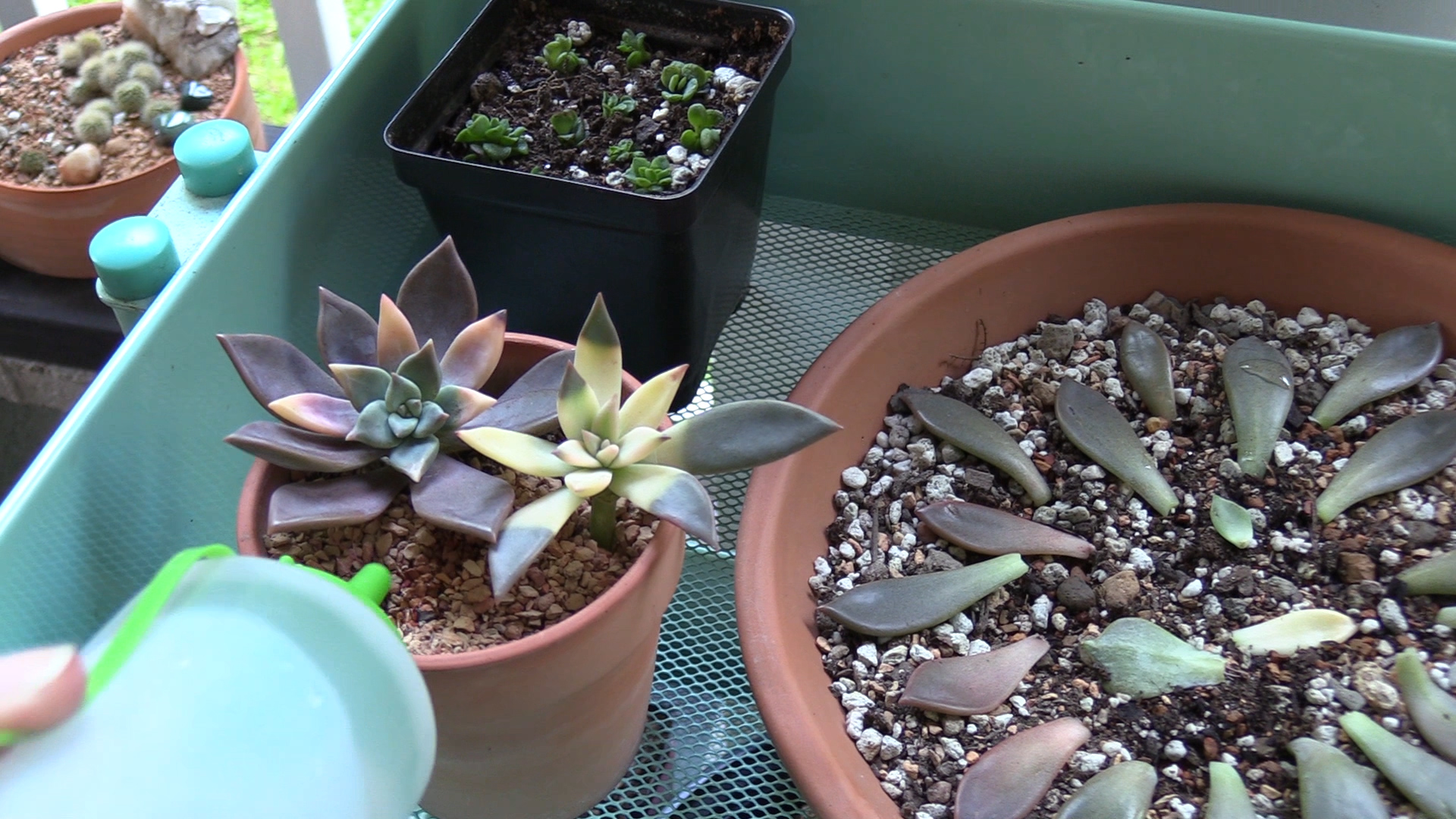 watering succulent propagations