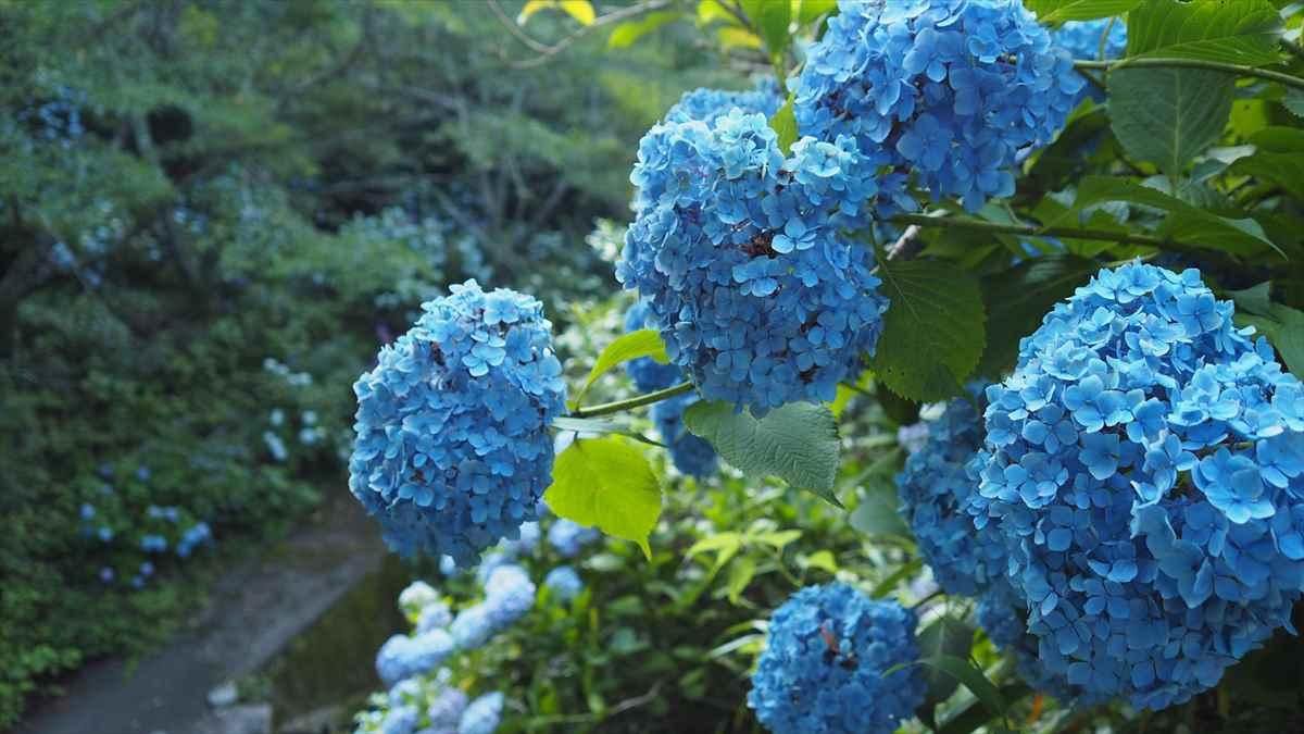美粧園 徳島県勝浦町 アジサイ 青色