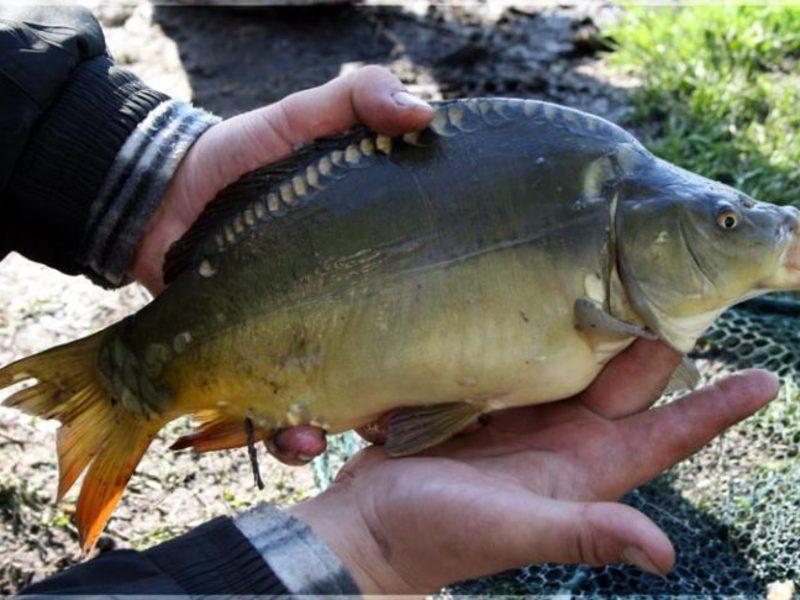 решение пресноводные рыбы украины фото и названия отличие современной сестры