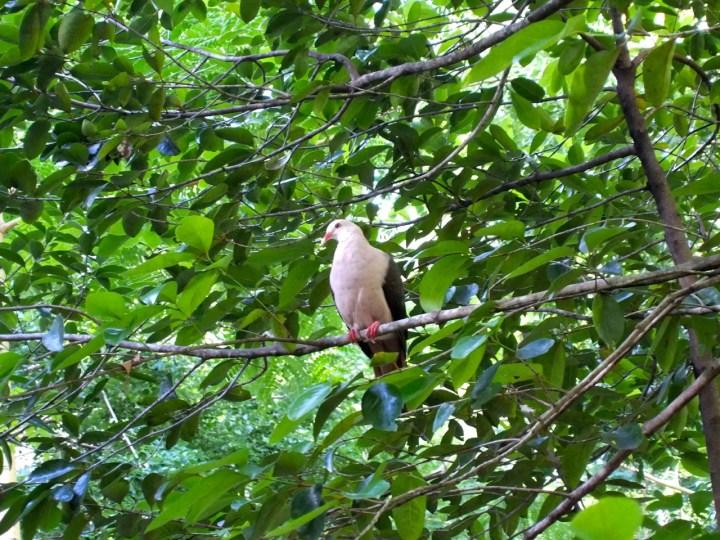 Pink pigeon.jpg