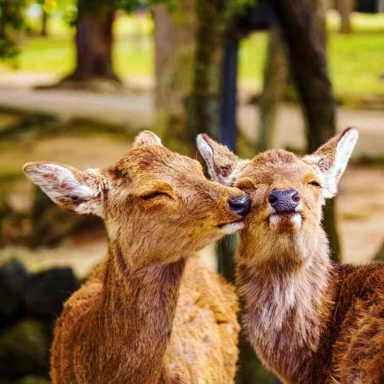 Two deer cuddling in the Nara deer park