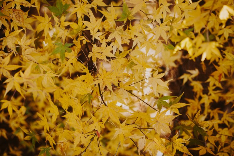 yellow maple leafes Japan