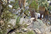 West Fork Trail and Palm Canyon (5)