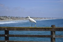 Yellow Footed White Bird (3)