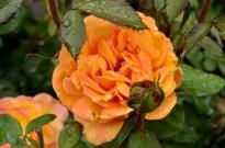 Portland Rose Garden, part 3 (3)