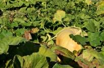 It's the Great Pumpkin (2)