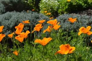 Poppies at Fullerton Arboretum (4)