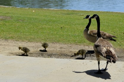 Awww, baby geese