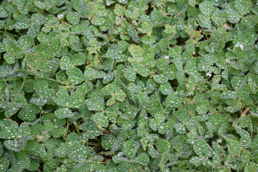 "A fascinating pattern I saw of white dew ""dots"" on larger green clover ""dots"" on a darker green-brown ground."