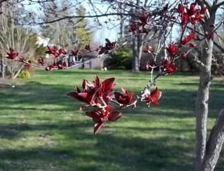 Tree Buds Bursting