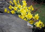 Daffodils Milling around Rocks