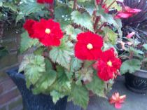 Begonia's with frilly edges