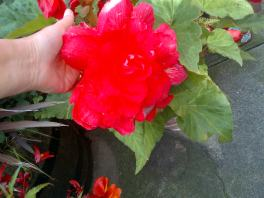 Begonia's that are Huge