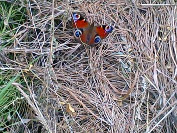 Peacock butterfly in our allotments