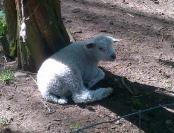 Lamb resting