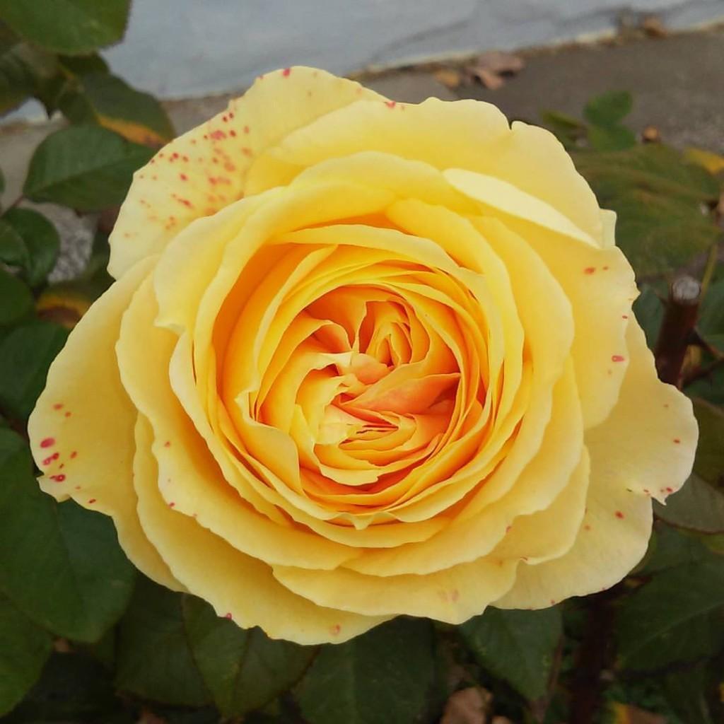 What Do Yellow Roses Mean Sue Ellis Saller