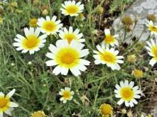 Daisy Wildflower