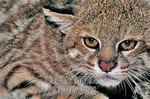 Austral Spotted Wildcat