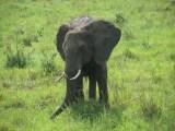 Posing Elephant