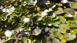 Water lilies again