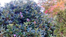 Late rhododendron flowers