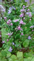 Thalictrum from Crug. BSWJ4946